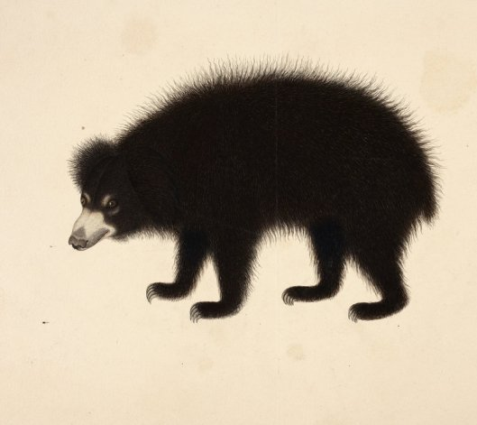 Sloth Bear by Haludar (1805)