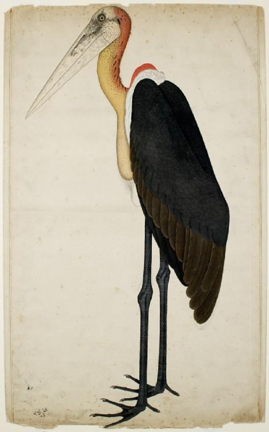 Adjutant Stork (Leptoptilos dubius) by Shaikh Zain ud-Din, c. 1780.